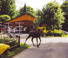 Local moose takes a stroll through the property