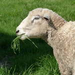 Leicester Longwool Sheep at Homestead Farm