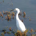 Egret at Sterling State Park.