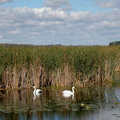 Swans at Tobico Marsh.