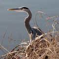 Blue heron at Lyons Oaks.
