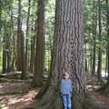 A giant hemlock along the East River Trail.