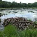 A beaver lodge along Big Bear Lake Pathway.
