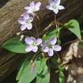 Spring Beauty wildflowers in Pete's Woods.