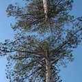 Towering pines along the Pickerel Lake Trail.