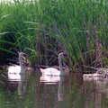 Swans at Pinckney Recreation Area.
