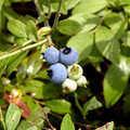 Blueberries along Big Bear Lake Pathway.