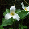 Homestead Trail is a great place to see the trillium bloom.