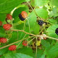 Keep an eye out for wildberries on Wildwood Hills Pathway.