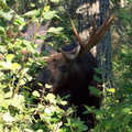 Isle Royale moose.
