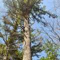 An old growth white pine at Kehl Lake Natural Area