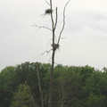 Heron Nests along Cass River Trail.