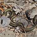 Eeek! A pair of garter snakes at Houdek Dunes.