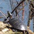 A painted turtle seen from the Pondside Trail.