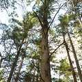A large red pine in Beal Tree Plantation.