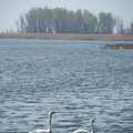 Swans at Pointe Mouillee State Game Area.