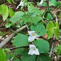 Trilliums carpet the forest floor at Ted Black Woods.