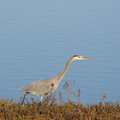 Blue Heron at Upper Herring Lake.