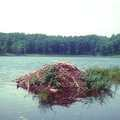 Beaver lodge on Reid Lake.
