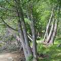 Cedars along the shoreline of Lime Lake.
