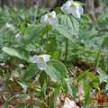 Trilliums carpet the forest floor at Pete's Woods.