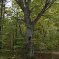 Old growth beech tree at Coy Mountain.