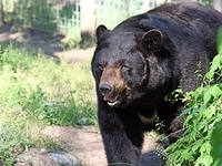 Fuzzy our 500+ pound black bear