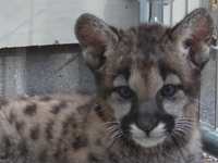 We have two new cougar at the zoo, Max and Genevieve
