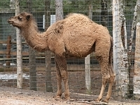 Achmed the camel