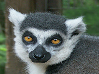 Ringo, one of the ring-tail lemur at the GarLyn Zoo