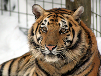Come and see Miko and Katerina our two tiger