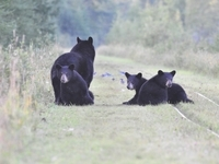 Bear family on narrow gauge tracks