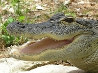 North American Alligator