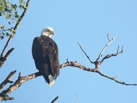 American Bald Eagle along the Toonerville Trolley tracks