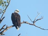 American Bald Eagle along the Toonerville Trolley tracks