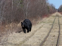 Black Bear along the Toonerville Trolley Tracks
