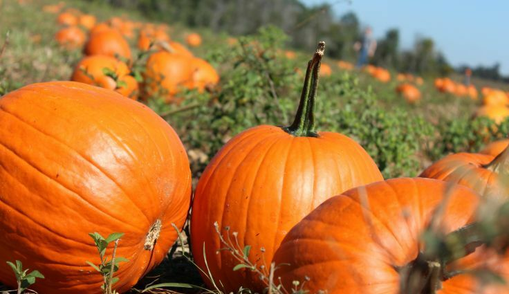 Pumpkin Days at Geer Farms