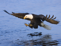 Beautiful Bald Eagles