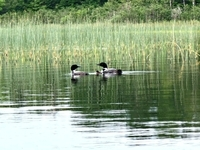 Our local loons.